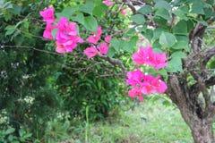 Фокус цветка бугинвилии фиолетовый селективный Стоковое Изображение RF