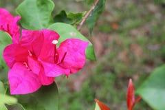 Фокус цветка бугинвилии фиолетовый селективный Стоковая Фотография