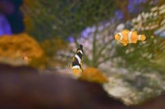 Фокус Ocellaris Clownfish Amphiprion селективный в морском аквариуме Стоковое Изображение