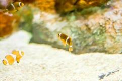 Фокус Ocellaris Clownfish Amphiprion селективный в морском аквариуме Стоковые Фотографии RF