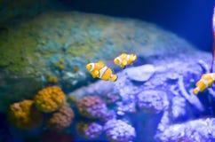 Фокус Ocellaris Clownfish Amphiprion селективный в морском аквариуме Стоковые Фото