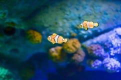 Фокус Ocellaris Clownfish Amphiprion селективный в морском аквариуме Стоковая Фотография RF