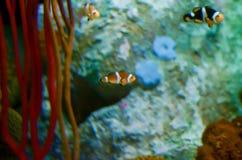 Фокус Ocellaris Clownfish Amphiprion селективный в морском аквариуме Стоковое фото RF