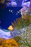 Фокус Ocellaris Clownfish Amphiprion селективный в морском аквариуме Стоковое Фото