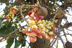 Фокус Shorea цветка robusta селективный Стоковое Изображение RF