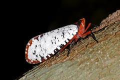 Фонарик Lanternflies прослушивает Fulgoridae Pyrops candelaria Aphaena Стоковые Изображения
