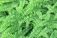 Фоновое изображение здоровых зеленых заводов папоротника используемых как земная крышка в саде стоковая фотография