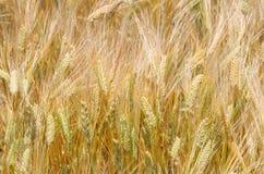 Фоновое изображение золотого поля ячменя Стоковые Фотографии RF