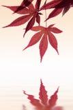 Фоновое изображение кленового листа Стоковое Изображение RF