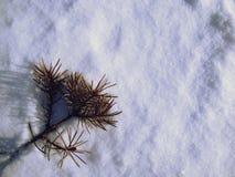 Фоновое изображение при сухая ветвь сосны лежа самостоятельно на фоне снега яркого белого в зиме Стоковые Изображения RF