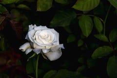Фон белой розы с мягким светом стоковые фотографии rf