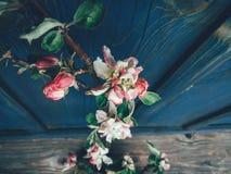 Фон ветви цветения Яблока голубой стоковая фотография