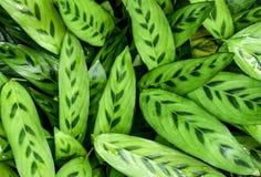 Фон естественных зеленых листьев, декоративный завод Стоковые Изображения RF
