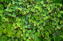 Фон зеленого цвета выходит естественная стена Стоковое фото RF