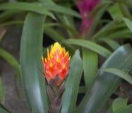 Фон сторон-съемки Bromeliad естественный Стоковые Изображения