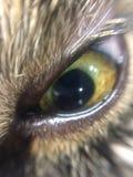 Форма зеленой миндалины третьего глаза души зеленого цвета глаза кота мудрая сердитая каряя Стоковое фото RF