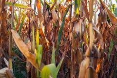 Форма мозоли кукурузное поле Стоковые Изображения