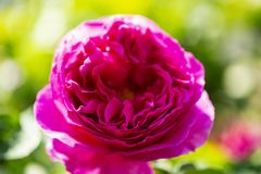 Форма розетки английской розы изолированная на зеленой предпосылке стоковые фото