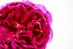 Форма розетки розы английского языка изолированная на белой предпосылке Стоковая Фотография