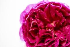 Форма розетки розы английского языка изолированная на белой предпосылке Стоковые Фотографии RF