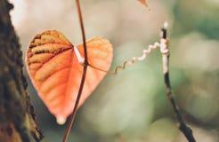 Форма сердца выходит красный цвет в тропический сад, текстура зеленых листьев Стоковое Изображение