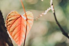 Форма сердца выходит красный цвет в тропический сад, текстура зеленых листьев Стоковое Фото