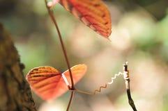 Форма сердца выходит красный цвет в тропический сад, текстура зеленых листьев Стоковые Фото