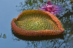 Форма сердца молодых лист лилии воды в воде Стоковые Изображения RF