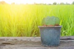 Форма сердца завода кактуса в баке на поле риса Стоковые Фото