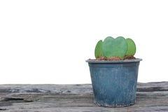 Форма сердца завода кактуса в баке Стоковое Фото