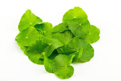 Форма сердца зеленых азиатских лист Pennywort (Centella asiatica) Стоковые Изображения RF