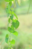 форма сердца зеленых лист Стоковая Фотография