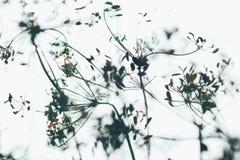 Формы цветорасположения укропа в нерезкости на белизне Стоковая Фотография