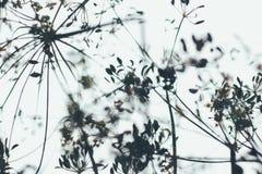 Формы цветорасположения укропа в нерезкости Стоковое Изображение