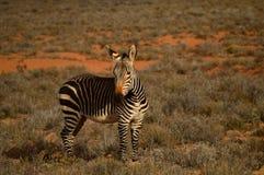Зебра в Африке стоковая фотография