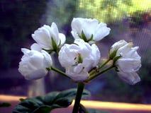 Фотография белых цветков на запачканной предпосылке Стоковое фото RF