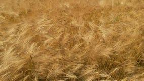 Фотография детали золотого поля зерна Стоковая Фотография RF