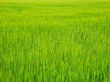 Фотография детали цвета свежего поля зерна стоковые фотографии rf