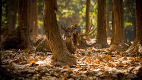 Фотография живой природы, фотография оленей, фотография леса стоковые фото