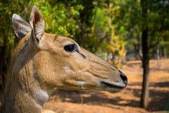 Фотография живой природы, фотография оленей, фотография живой природы стоковое изображение