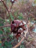 Фотография любов цветка 2 хлопка, стоковое изображение rf