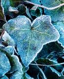 Фотография макроса замороженных лист плюща Стоковое Изображение RF
