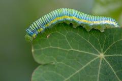 Фотография макроса, который заволокли желтой гусеницы бабочки стоковые фотографии rf