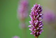 Фотография макроса красивого smartweed цветка стоковое фото