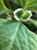 Фотография макроса пор капилляра на листьях стоковые фотографии rf