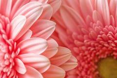 Фотография макроса розовых маргаритки или gerbera, флористической предпосылки с лепестками Стоковое Изображение RF