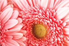 Фотография макроса розовых маргаритки или gerbera, флористической предпосылки с лепестками Стоковое Изображение