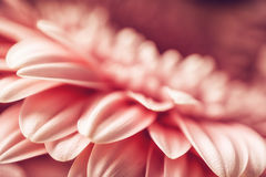 Фотография макроса розовых маргаритки или gerbera, флористической предпосылки с лепестками Стоковая Фотография RF
