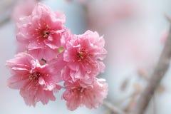 Фотография макроса Сакуры вишневого цвета с предпосылкой нерезкости в Taichung, Тайване стоковые фото