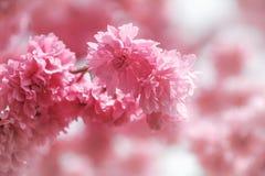 Фотография макроса Сакуры вишневого цвета с предпосылкой нерезкости в Taichung, Тайване стоковые изображения rf